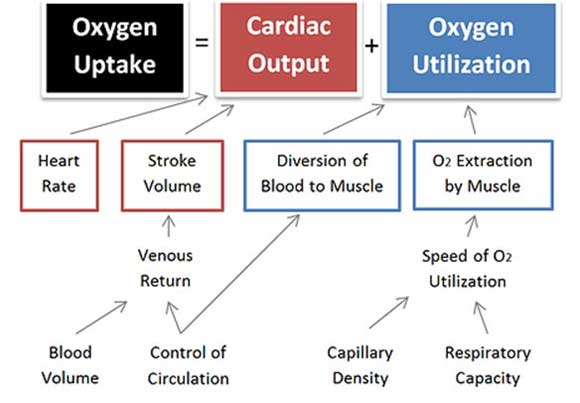 cardiovascular-changes